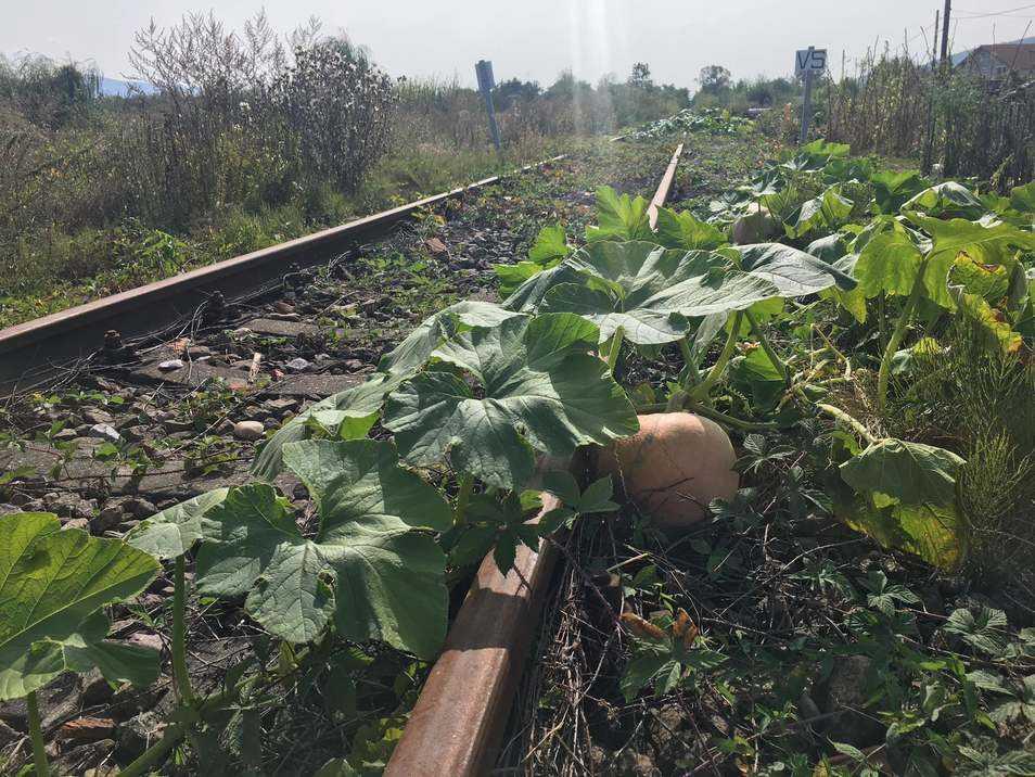 dovleci pe calea ferată