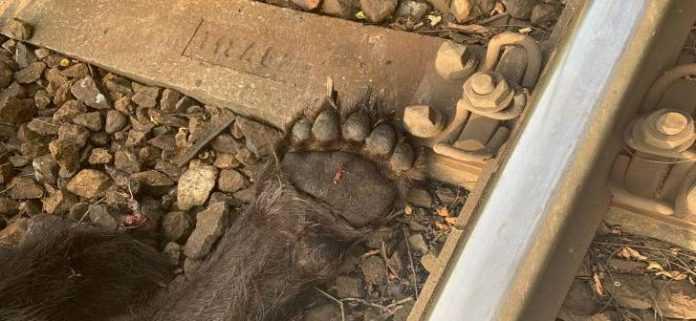 urs a fost lovit de tren